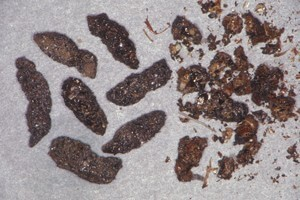 Big brown bat droppings
